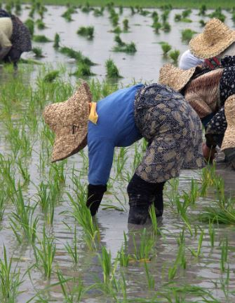 Agricultura cultura china cultivos